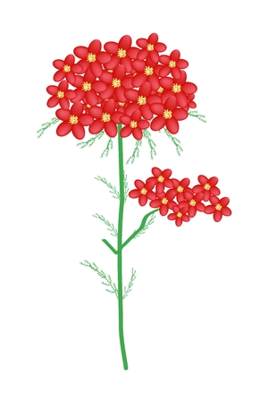 millefolium: Beautiful Flower, Illustration of Red Yarrow Flowers or Achillea Millefolium Flowers with Green Leaves Isolated on White Background. Illustration