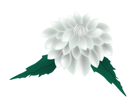 flower illustration: Beautiful Flower, Illustration of Bright and Beautiful White Dahlia Flower with Green Leaves Isolated on White Background.