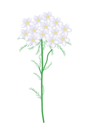 millefolium: Beautiful Flower, Illustration of White Yarrow Flowers or Achillea Millefolium Flowers with Green Leaves Isolated on White Background.