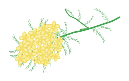 asteraceae: Beautiful Flower, Illustration of Yellow Yarrow Flowers or Achillea Millefolium Flowers with Green Leaves Isolated on White Background.