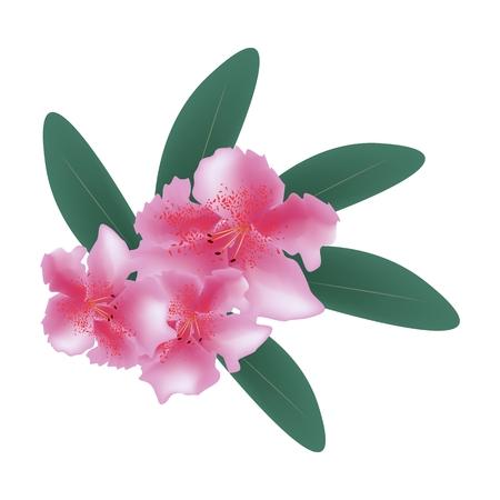 azal�e: Belle Fleur, Illustration de Pink rhododendron ponticum Fleurs avec des feuilles vertes isol� sur un fond blanc. Illustration