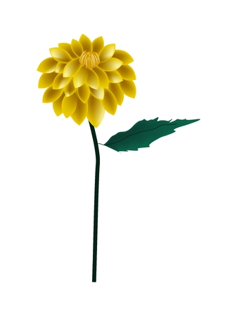 dahlia: Beautiful Flower, Illustration of Bright and Beautiful Yellow Dahlia Flower with Green Leaves Isolated on White Background.