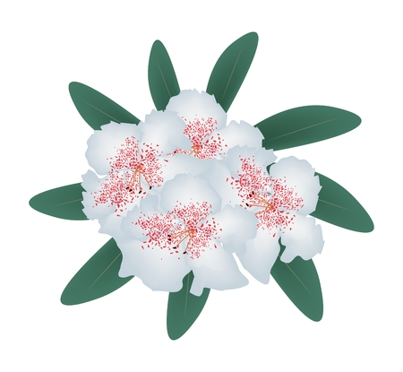 azal�e: Beautiful Flower, Illustration of White Rhododendron Ponticum Flowers with Green Leaves Isolated on White Background.