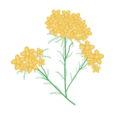 asteraceae: Beautiful Flower, Bunch of Yellow Yarrow Flowers or Achillea Millefolium Flowers with Green Leaves Isolated on White Background.