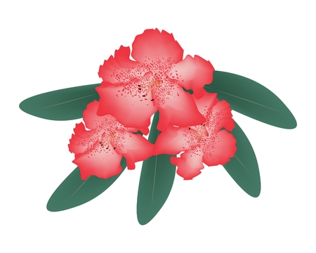 lush foliage: Beautiful Flower, Illustration of Red Rhododendron Ponticum Flowers with Green Leaves Isolated on White Background. Illustration