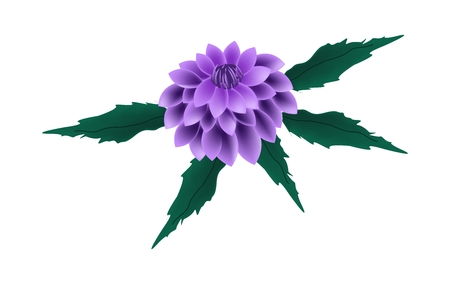 flower illustration: Beautiful Flower, Illustration of Bright and Beautiful Purple Dahlia Flower with Green Leaves Isolated on White Background.