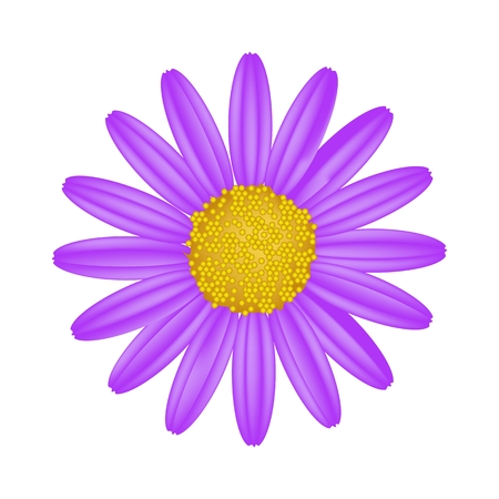Symbol of Love, Bright and Purple Osteospermum Daisy Flower or Cape Daisy Flower Isolated on White Background.