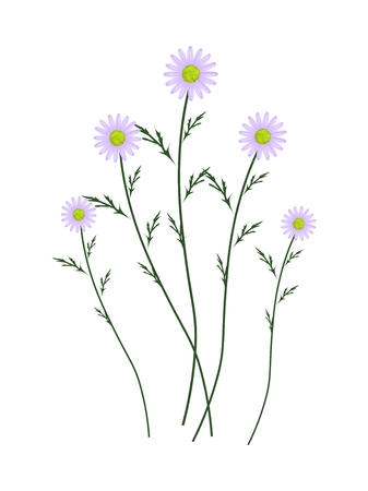marguerite: Symbol of Love, Bright and Violet Osteospermum Daisy Flowers or Cape Daisy Blossoms Isolated on White Background.