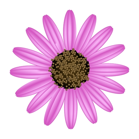Symbol of Love, Bright and Pink Osteospermum Daisy Flower or Cape Daisy Flower Isolated on White Background.