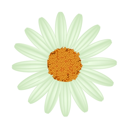 marguerite: Symbol of Love, Bright and Green Osteospermum Daisy Flower or Cape Daisy Flower Isolated on White Background. Illustration