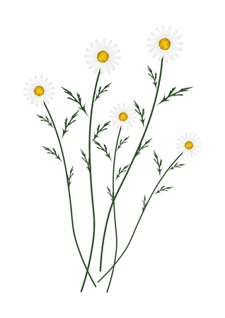 asteraceae: Symbol of Love, Bright and White Osteospermum Daisy Flowers or Cape Daisy Blossoms Isolated on White Background. Illustration