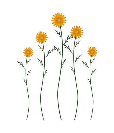 marguerite: Symbol of Love, Bright and Orange Osteospermum Daisy Flowers or Cape Daisy Blossoms Isolated on White Background. Illustration