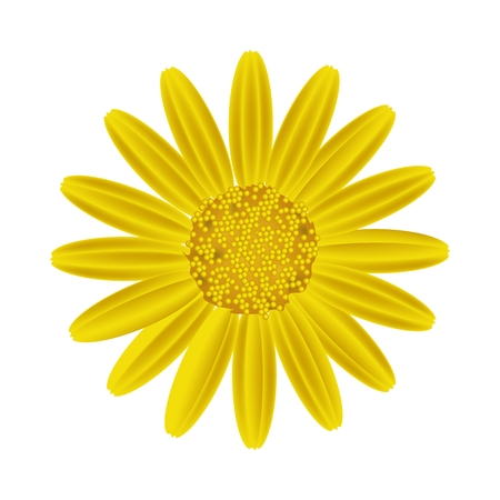 Symbol of Love, Bright and Yellow Osteospermum Daisy Flower or Cape Daisy Flower Isolated on White Background.