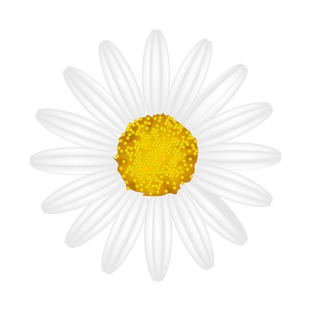 Symbol of Love, Bright and White Osteospermum Daisy Flower or Cape Daisy Flower Isolated on White Background.