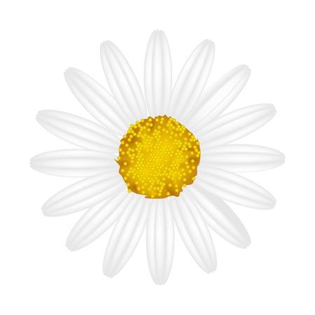 osteospermum: Symbol of Love, Bright and White Osteospermum Daisy Flower or Cape Daisy Flower Isolated on White Background.