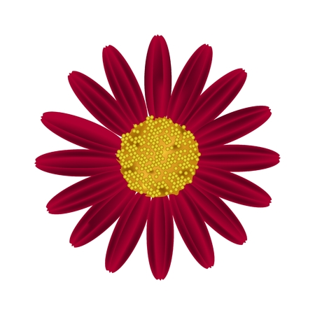 Symbol of Love, Bright and Red Osteospermum Daisy Flower or Cape Daisy Flower Isolated on White Background.
