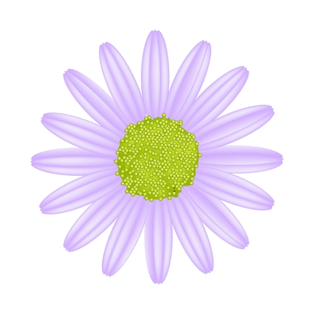 florescence: Symbol of Love, Bright and Violet Osteospermum Daisy Flower or Cape Daisy Flower Isolated on White Background.