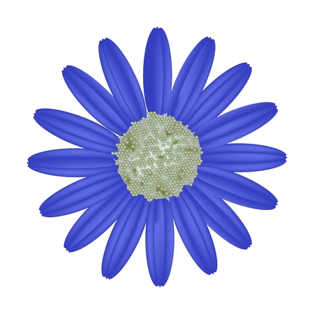lush foliage: Symbol of Love, Bright and Blue Osteospermum Daisy Flower or Cape Daisy Flower Isolated on White Background.