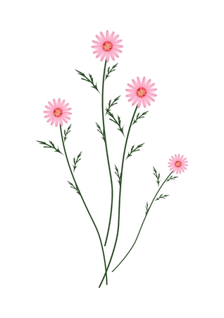 Symbol of Love, Bright and Old Rose Osteospermum Daisy Flowers or Cape Daisy Blossoms Isolated on White Background.