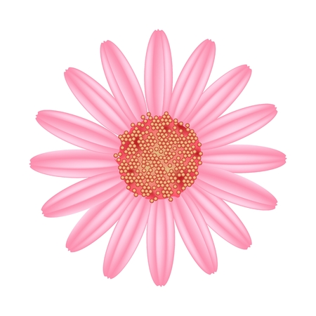 Symbol of Love, Bright and Old Rose Osteospermum Daisy Flower or Cape Daisy Flower Isolated on White Background. Illustration