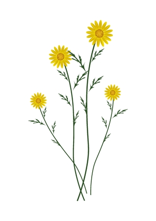 florescence: Symbol of Love, Bright and Yellow Osteospermum Daisy Flowers or Cape Daisy Blossoms Isolated on White Background. Illustration