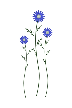 Symbol of Love, Bright and Blue Osteospermum Daisy Flowers or Cape Daisy Blossoms Isolated on White Background.