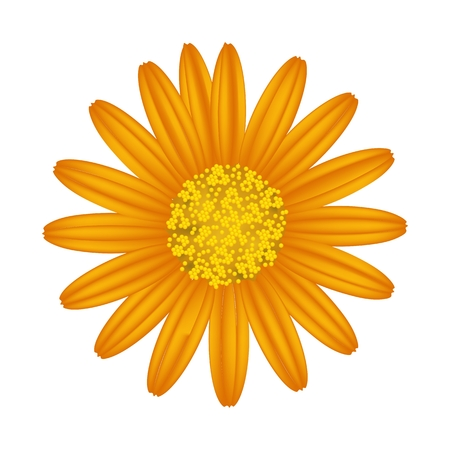 orange gerbera: Symbol of Love, Bright and Yellow Osteospermum Daisy Flower or Cape Daisy Flower Isolated on White Background.