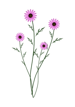 asteraceae: Symbol of Love, Bright and Purple Osteospermum Daisy Flowers or Cape Daisy Blossoms Isolated on White Background.