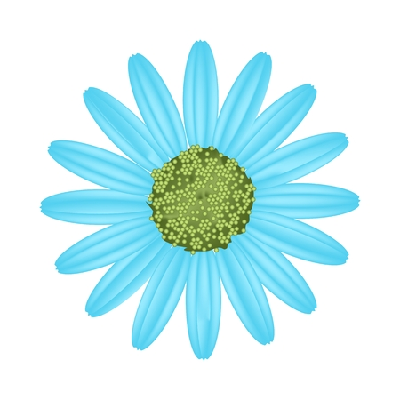 florescence: Symbol of Love, Bright and Light Blue Osteospermum Daisy Flower or Cape Daisy Flower Isolated on White Background. Illustration