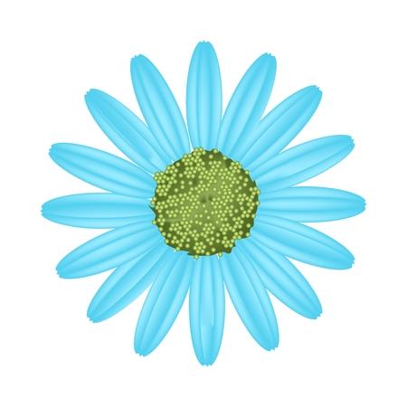 osteospermum: Symbol of Love, Bright and Light Blue Osteospermum Daisy Flower or Cape Daisy Flower Isolated on White Background. Illustration