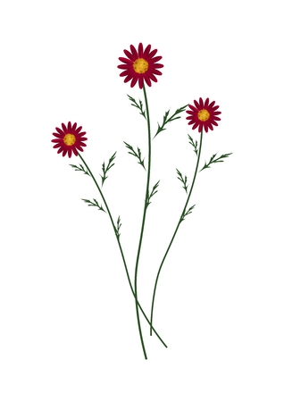 florescence: Symbol of Love, Bright and Red Osteospermum Daisy Flowers or Cape Daisy Blossoms Isolated on White Background. Illustration