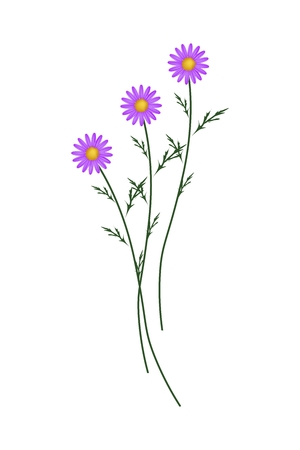 osteospermum: Symbol of Love, Bright and Purple Osteospermum Daisy Flowers or Cape Daisy Blossoms Isolated on White Background.