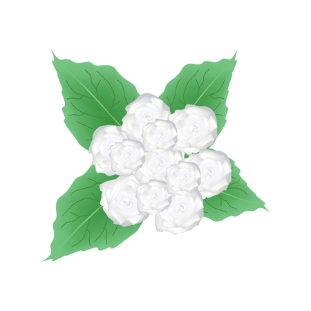 bower: Illustration of White Glory Bower Flowers or Clerodendrum Chinense Flowers with Green Leaves Isolated on Transparent Background