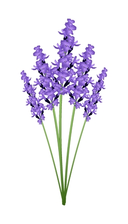 Illustration of Beautiful Purple Lavender Flowers Isolated on A Transparent Background.
