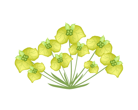 milkweed: Illustration of Yellow Cypress Spurge or Euphorbia Cyparissias Isolated on Transparent Background. Illustration