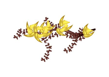 teak: Illustration of Yellow Bastard Teak Flowers or Butea Monosperma Flowers Isolated on White Background. Illustration