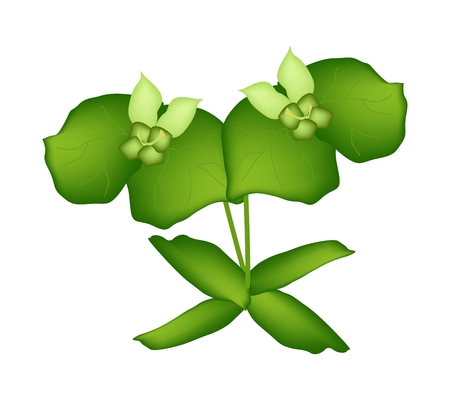 milkweed: Beautiful Flower, Illustration of Two Beautiful Green Cypress Spurge or Euphorbia Cyparissias Isolated on Transparent Background. Illustration