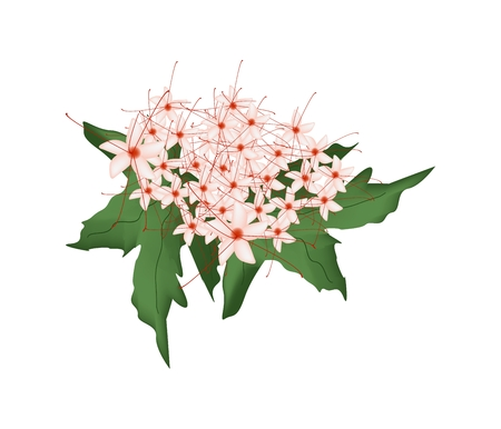 flower bunch: Beautiful Flower, Bunch of Red Clerodendrum Paniculatum Flowers or Pagoda Flowers with Green Leaves Isolated on Transparent Background. Vectores