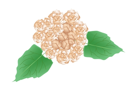 bower: Illustration of Glory Bower Flowers or Clerodendrum Chinense Flowers with Green Leaves Isolated on Transparent Background.