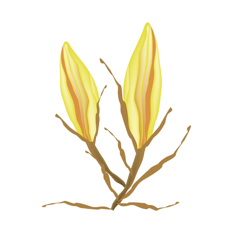 tropical climate: Beautiful Flower, Illustration of Beautiful Yellow Equiphyllum Flowers Isolated on A White Background Illustration