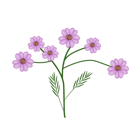 lush foliage: Beautiful Flower, Illustration of Purple Yarrow Flowers or Achillea Millefolium Flowers Isolated on White Background. Illustration