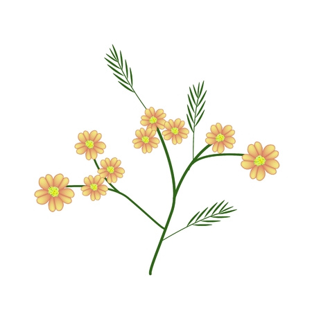 asteraceae: Beautiful Flower, Bunch of Orange Yarrow Flowers or Achillea Millefolium Flowers with Green Leaves Isolated on White Background.