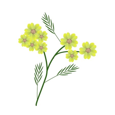 millefolium: Beautiful Flower, Illustration of Beautiful Yellow Yarrow Flowers or Achillea Millefolium Flowers with Green Leaves Isolated on White Background. Illustration