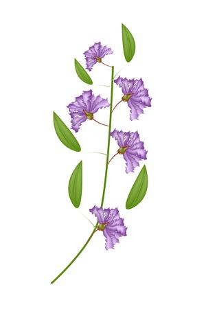 fistula: Beautiful Flower, Illustration Bunch of Purple Crape Myrtle Flowers or Lagerstroemia Indica Flowers Isolated on White Background Illustration
