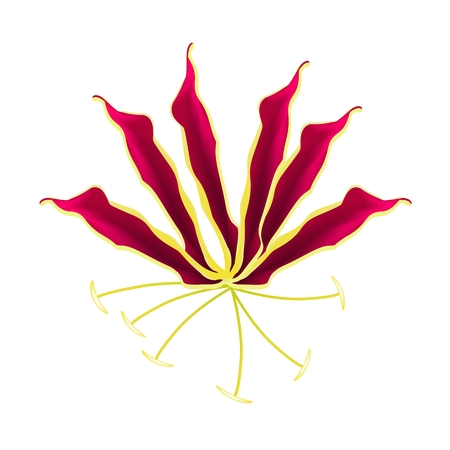 creeping: Beautiful Flower, Illustration of Flame Lily, Climbing Lily, Gloriosa Superba Isolated on A White Background