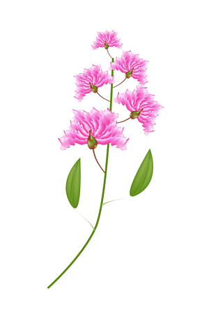 fistula: Beautiful Flower, Illustration Bunch of Pink Crape Myrtle Flowers or Lagerstroemia Indica Flowers Isolated on White Background