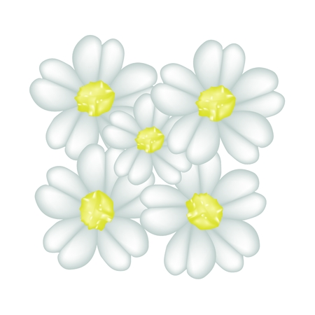 asteraceae: Beautiful Flower, Illustration of Beautiful White Yarrow Flowers Isolated on White Background. Illustration