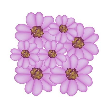asteraceae: Beautiful Flower, Illustration of Purple Yarrow Flowers or Achillea Millefolium Flowers Isolated on White Background. Illustration