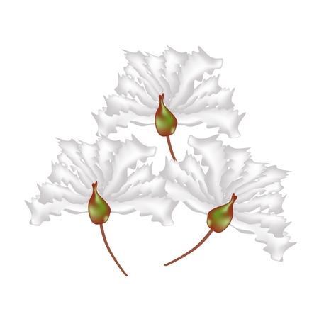 myrtle: Beautiful Flower, Illustration White Crape Myrtle Flowers or Lagerstroemia Indica Flowers Isolated on White Background Illustration