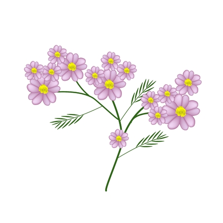 millefolium: Beautiful Flower, Illustration of Fresh Pink Yarrow Flowers or Achillea Millefolium Flowers with Green Leaves Isolated on White Background.